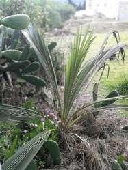 Planta de Cumbe