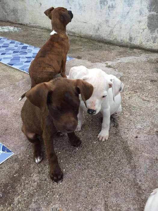 Adopcion Cachorros <strong>boxer</strong> Cruze Labrador