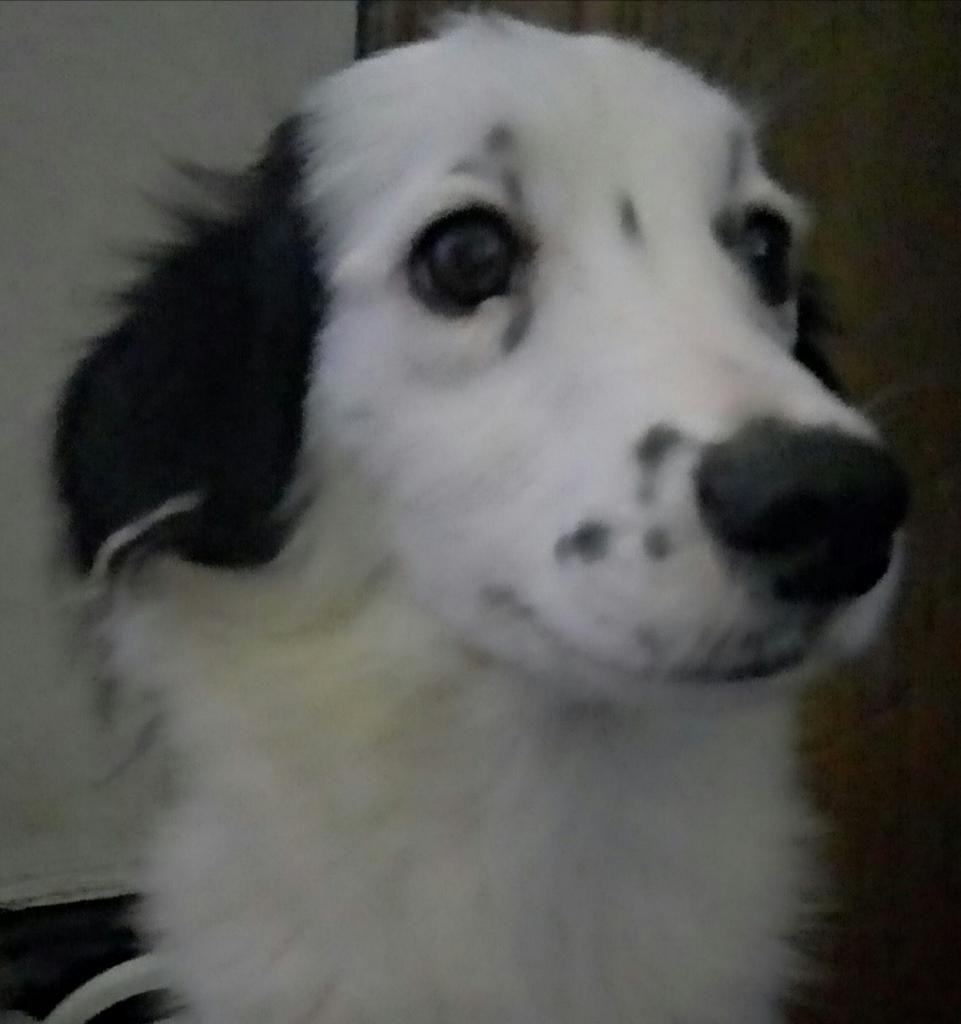 Cachorro Border Collie 1 Año Y Medio