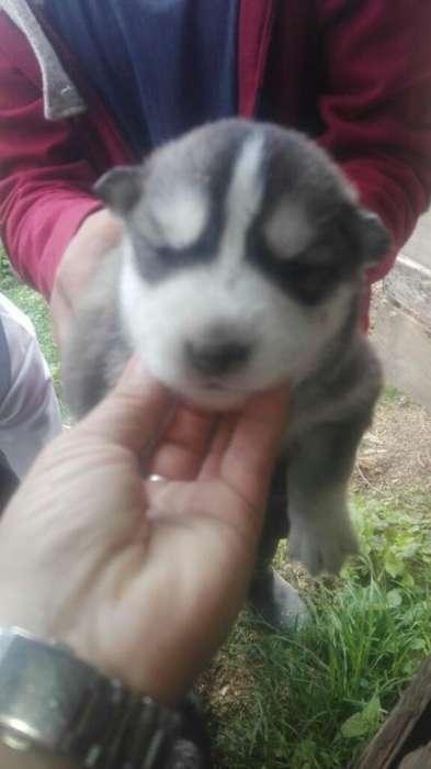 Lobos Husky