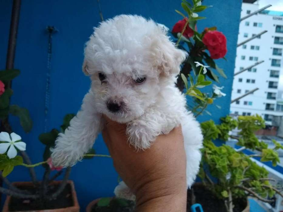 Hermosos Poodle Mini Toy