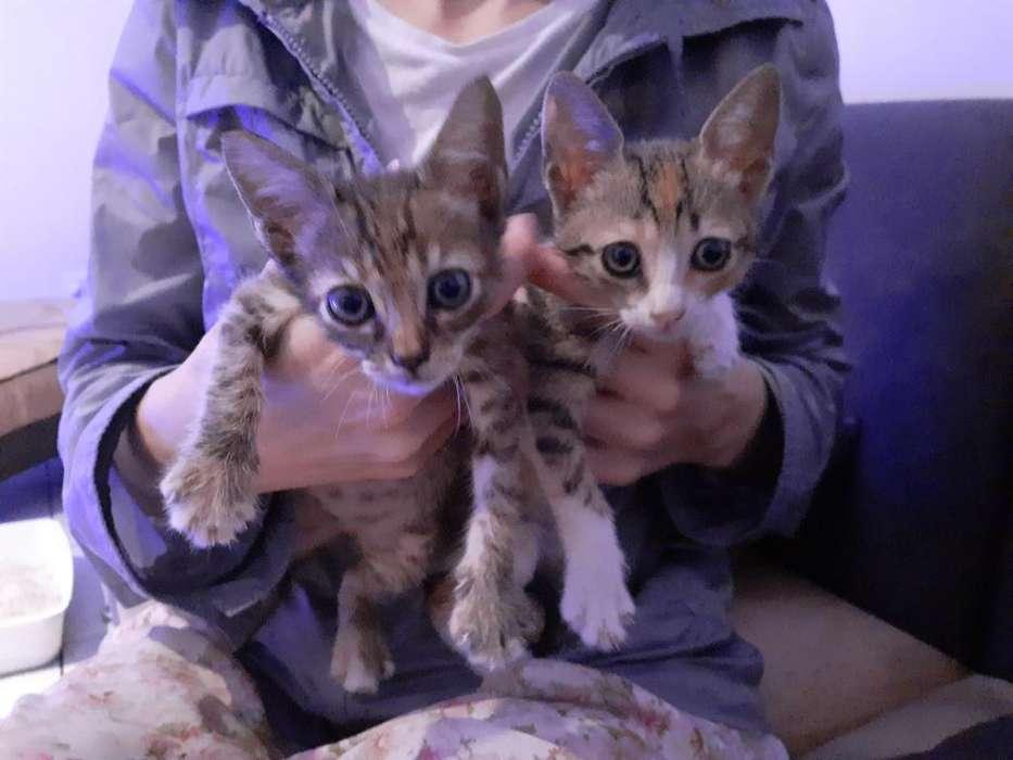 Gatitas/gatos/gatas en adopción/regalan