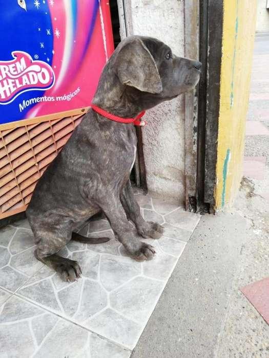 <strong>cachorro</strong>s mastin napolitanos