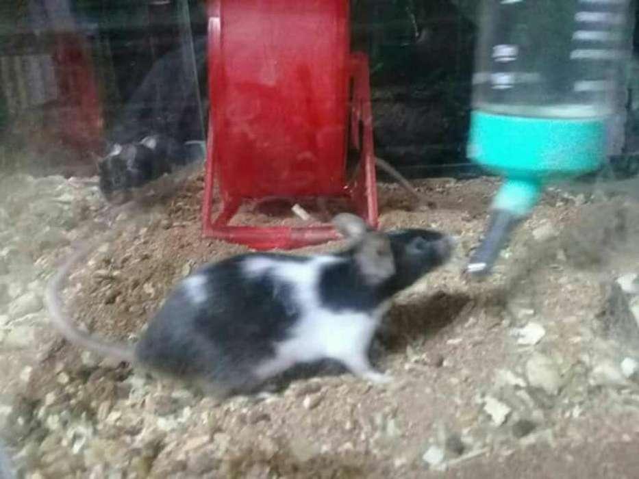 Ratones Vaquita Vendo 15 Y 20