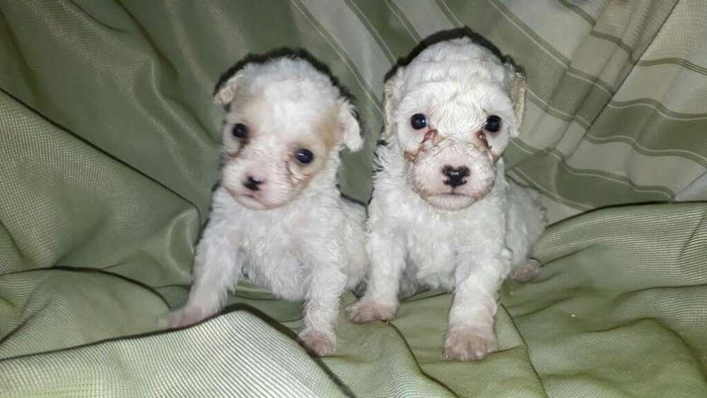 French Poodle Mini Toy Originales
