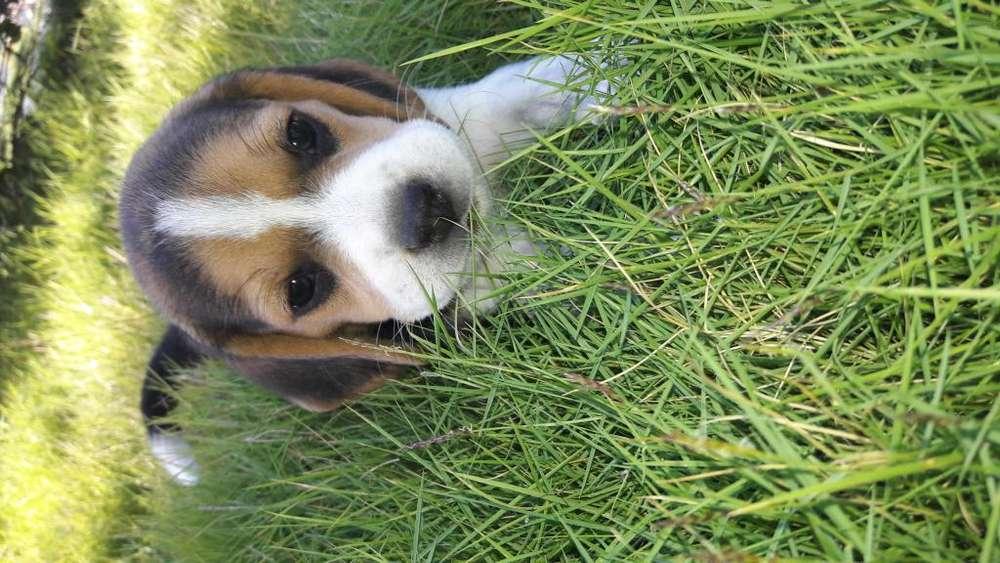 Hermosos cahorros beagle 100 puros