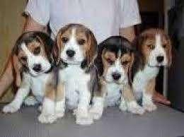 <strong>beagle</strong> cachorros tricolor