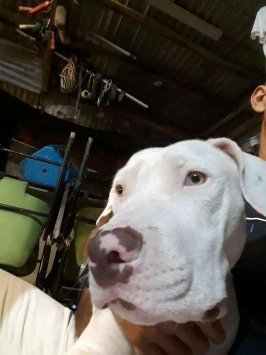 Buscó <strong>perra</strong> Pitbull