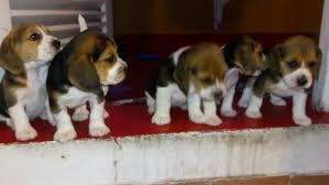 hermosos <strong>beagle</strong> mini