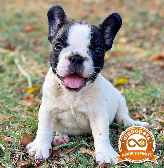 CACHORROS BULLDOG FRANCES CAMADA LINAJE CAMPEON REGISTRADOS KENNEL CLUB PERUANO PEDIGREE