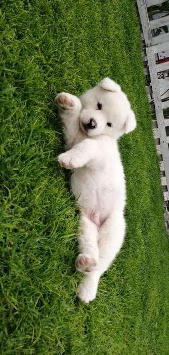 Vendo Hermoso Cachorro Akita