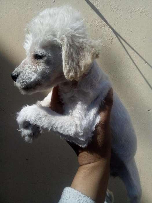 linda cachorra poodle toys