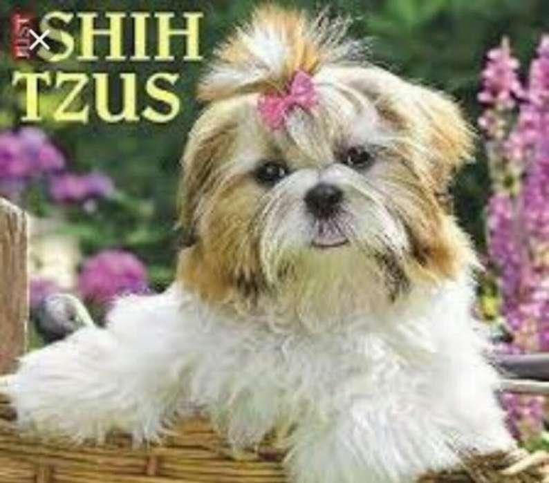 Shitzu Henbra de 7 Meses