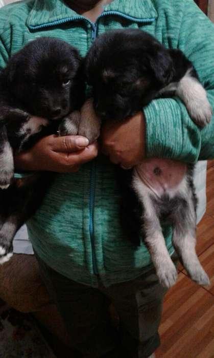Lindos Cachorritos Pastor en Adopcion