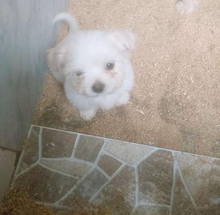 Shitzu con poodle