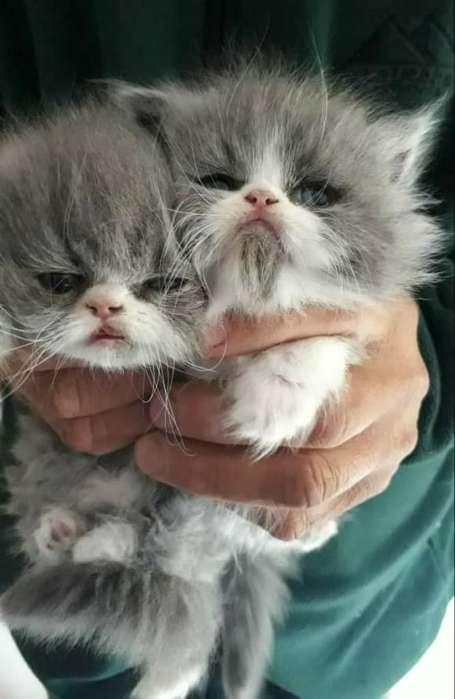 <strong>gatito</strong>s Persa Machos