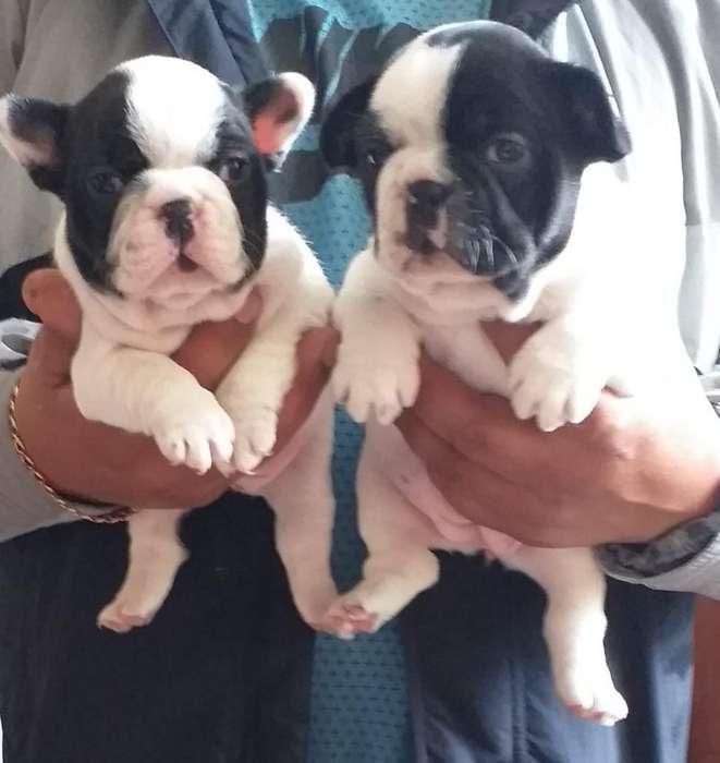 Bulldog Frances Lindas Cachorritas