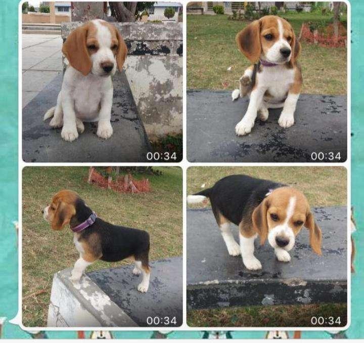 Vendo <strong>cachorro</strong>s Beagle