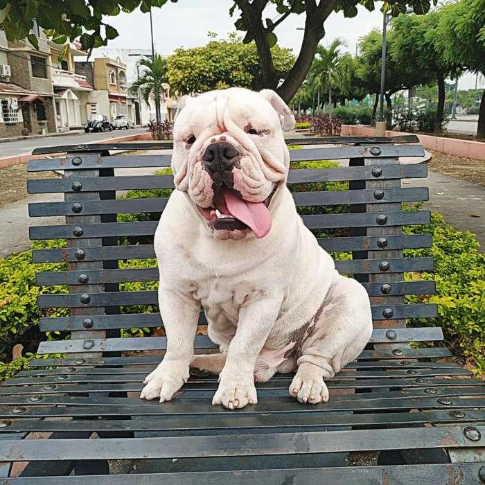 <strong>bulldog</strong> Ingles para Monta