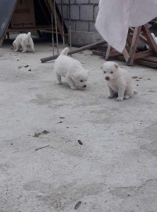 Vendo <strong>cachorro</strong>s Husky Siberiano