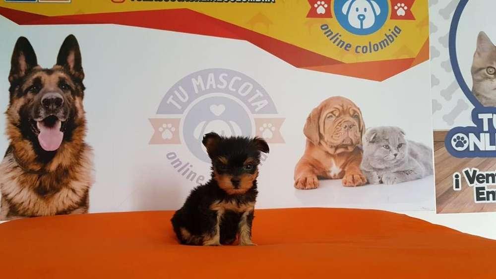 Yorkshire <strong>terrier</strong> Tacita Economico