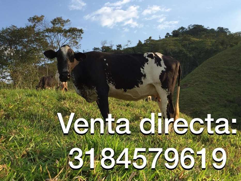 <strong>vacas</strong> Girolando Lecheras Holstein Gyr