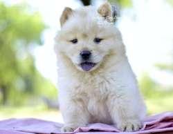 Bellos Cachorros Chow Chow