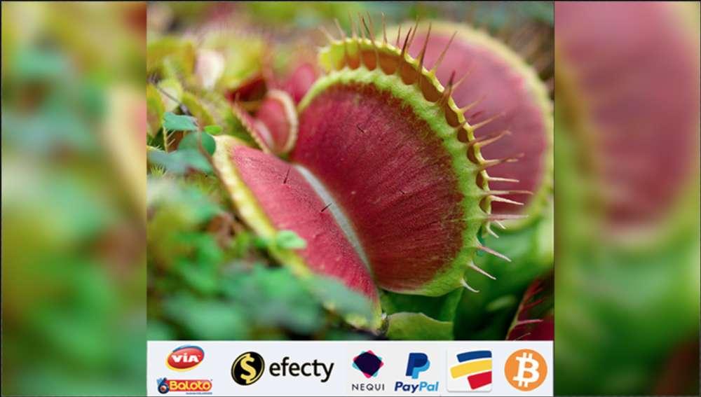 Plantas Carnívoras Venus Atrapamoscas con regalo