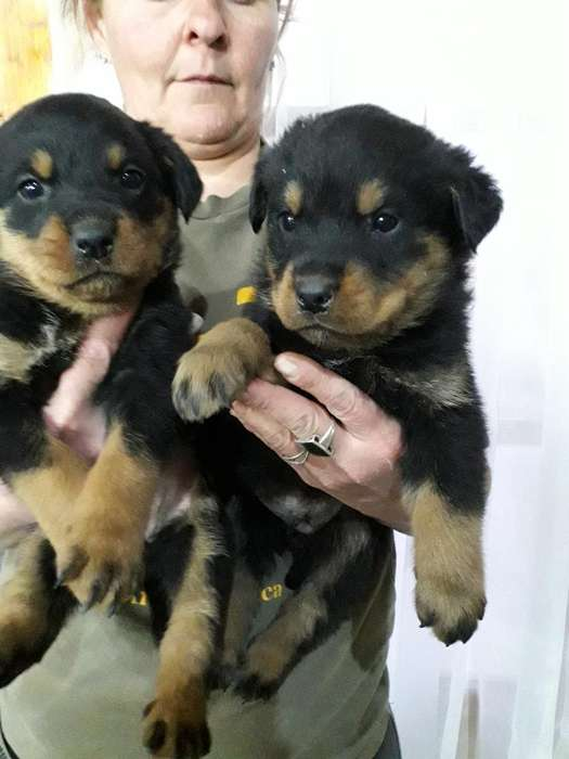 Vendo Rottweillers