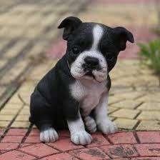 cachorros boston <strong>terrier</strong> hermosos puros en cali