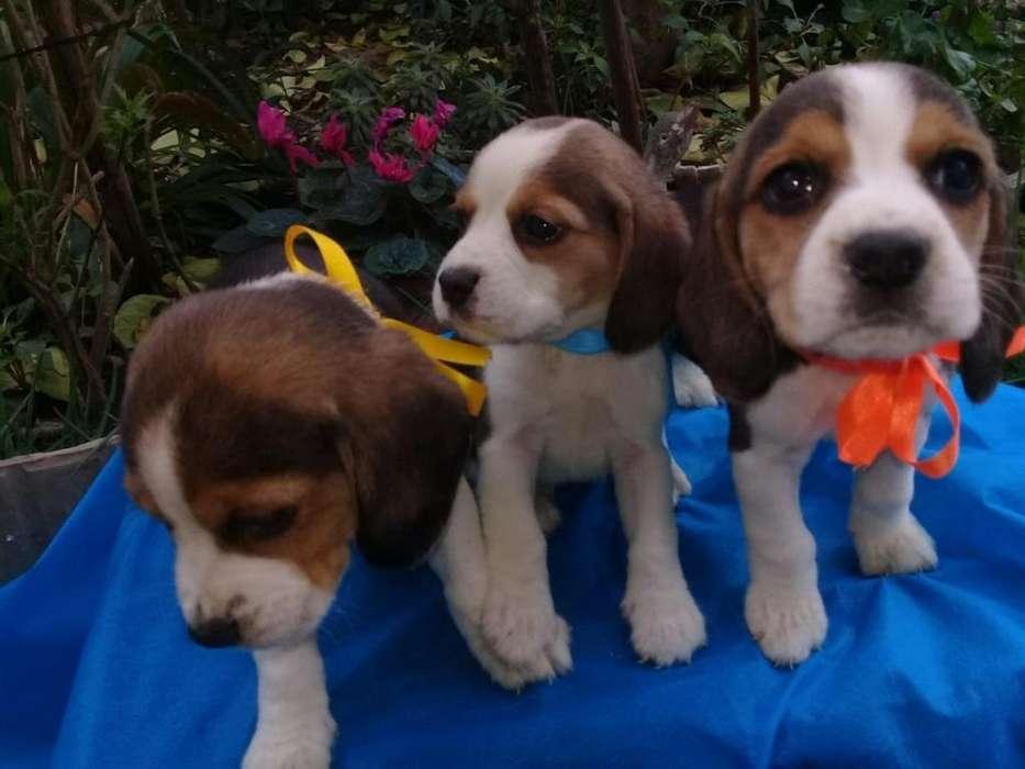 Cachorrita Beagle Mini Tricolor 100% Puro