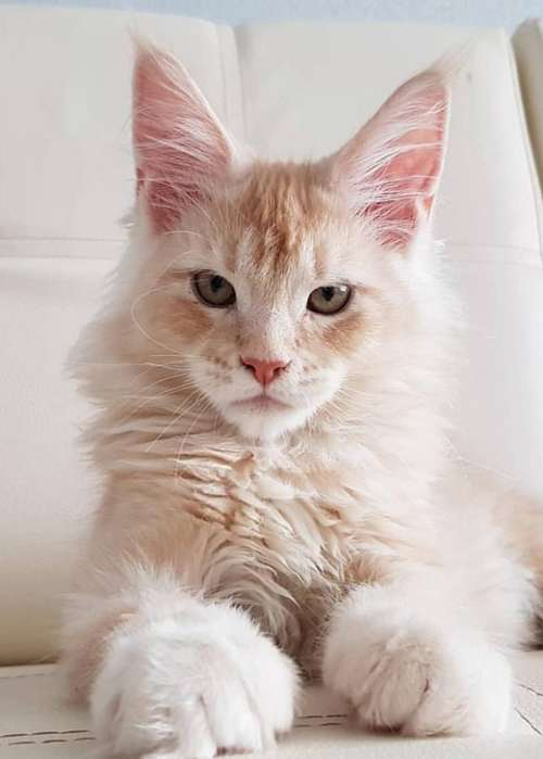 Gatos Raza Maine Coon