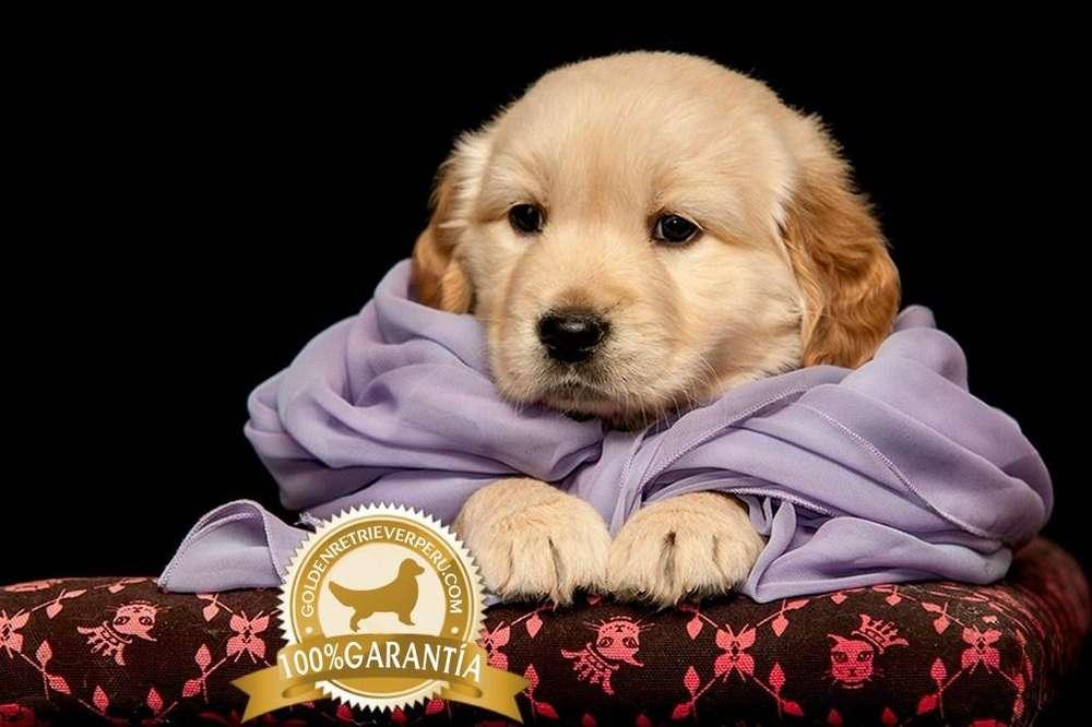 EXCLUSIVOS <strong>cachorro</strong>S GOLDEN RETRIEVER PERU 2019