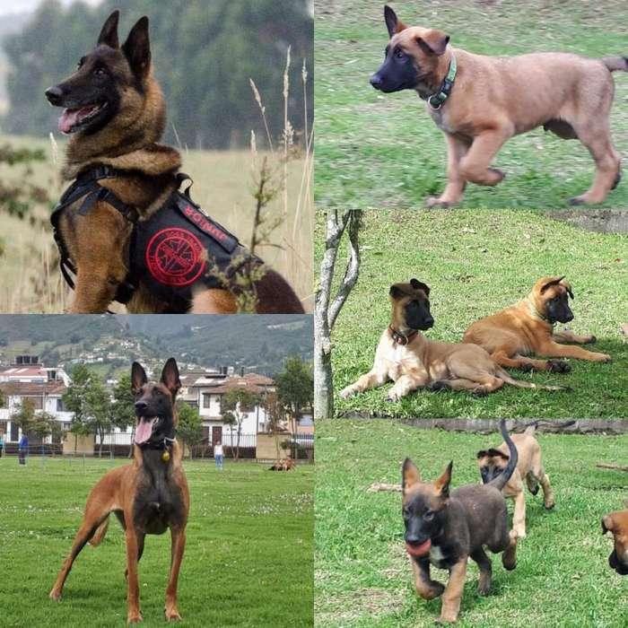 Cachorros Pastor Belga Malinos