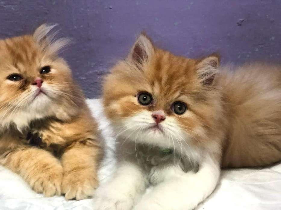 Gatos Persa Extremos Hermosos En Casa De Familia