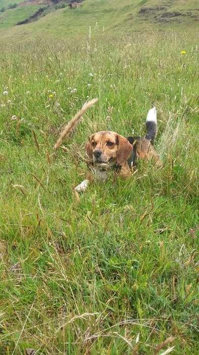 Beagle Pata Monta