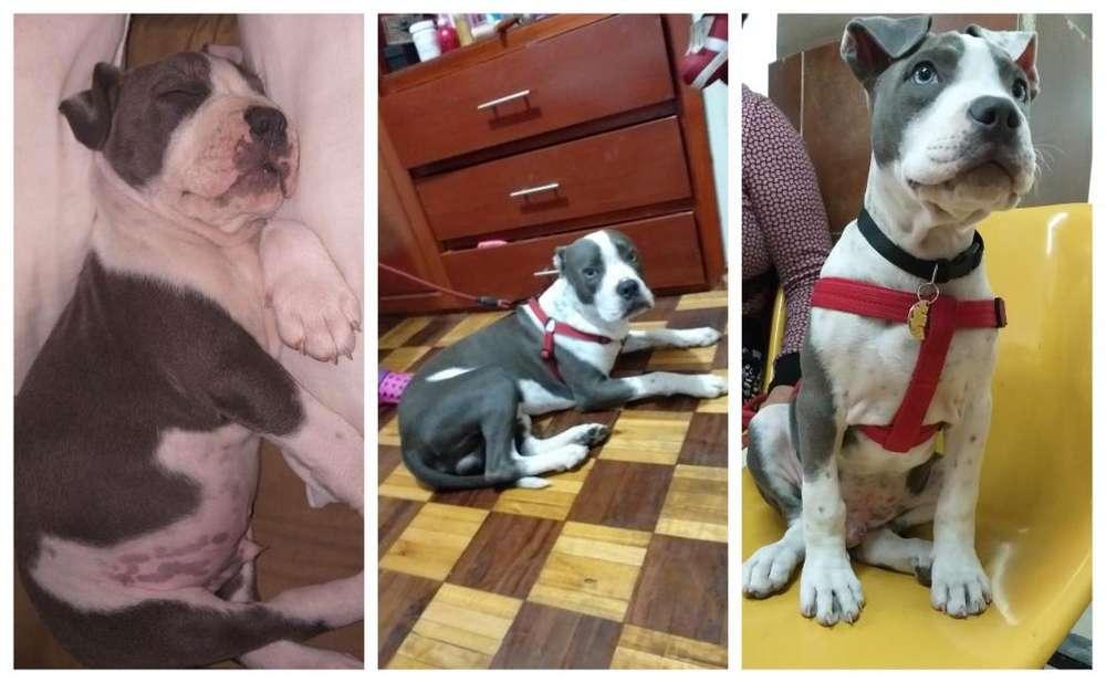 Hermoso <strong>cachorro</strong> pitbull