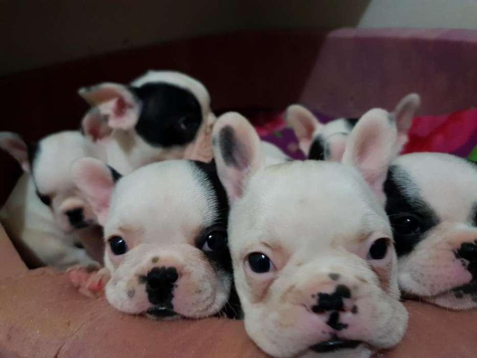 Lindos Bulldog Frances Cachorritos