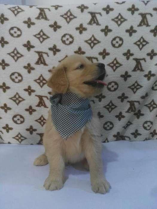 entusiasmados <strong>cachorro</strong>s golden originales
