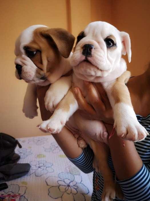 Se Vende Últimos Bulldog Inglés