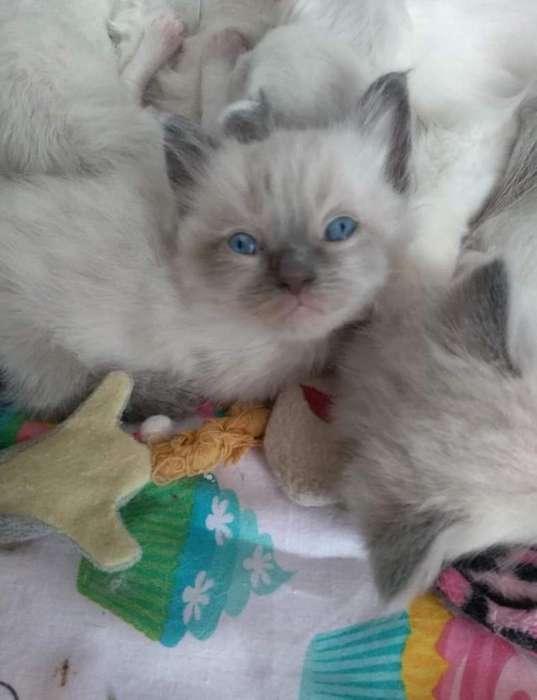 Ragdoll Blue point