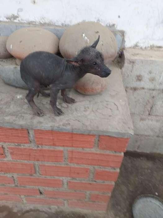Venta de Perros Peruanos