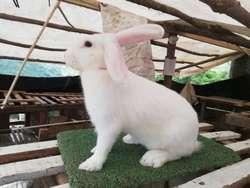 Venta de Conejos para Pie de Cria