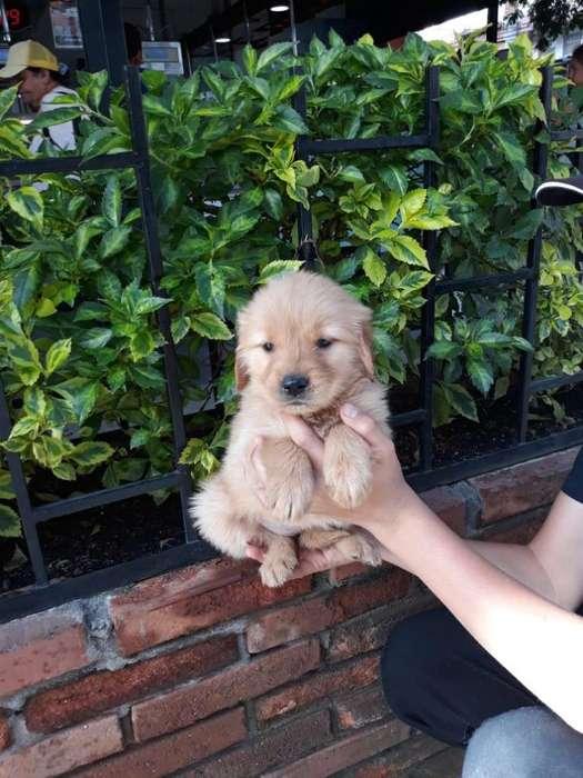 Hermosos Cachorros Golden Retriever Vacunados Y desparasitados garantía de pureza