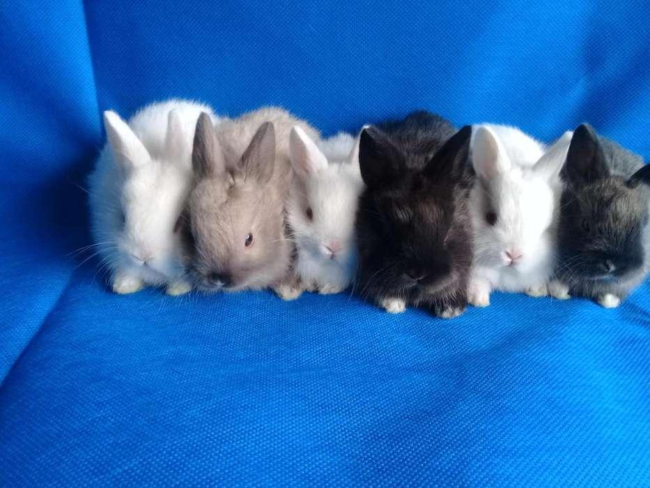 Conejos enanos holandes