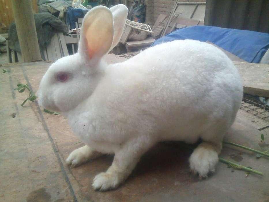 Se Vende Conejos Rex