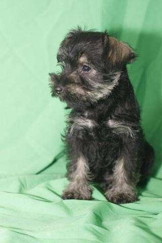 bellos cachorro schnauzer miniatura 100% puros pelo de alambre hembras y machos disponibles