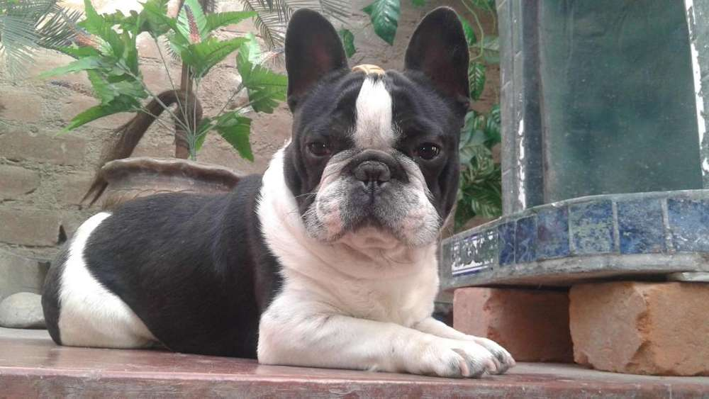 bulldog frances A,,1 , TOY da servicio de monta ,,, actualmente disponibles de cachorros A,1