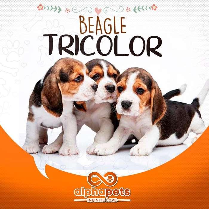 EXTRAORDINARIOS <strong>cachorro</strong>S BEAGLE EXCLUSIVOS PERU ALPHA PETS ENVIO NACIONAL INTERNACIONAL