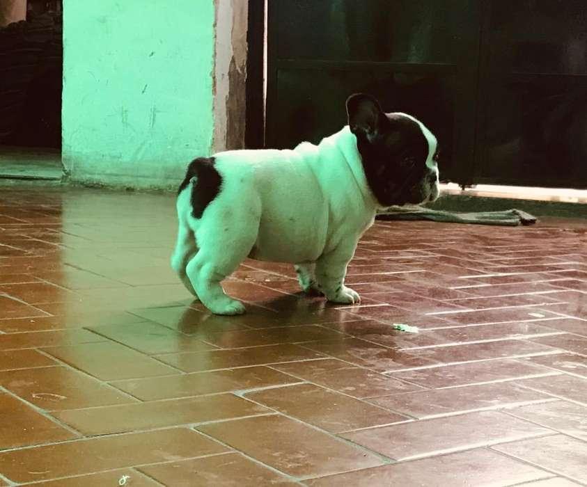 Bull Dog Frances Listo para Retirar